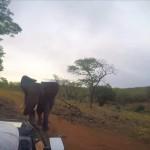 車に乗ったTVスタッフがアフリカゾウに襲撃される衝撃映像 白い牙が槍のよう・・・